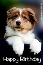 Geburtstagskarte, Australian Shepherd, Hund, Text: Happy Birthday